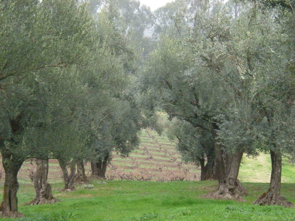 Olive Trees - Sarah Stierch